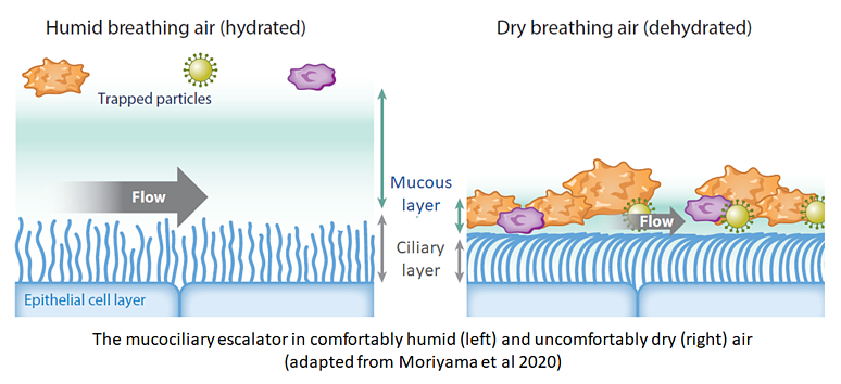 Schematic of the muco-ciliary escalator in dry and humid air